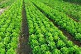 Vegetable field — Stock Photo