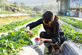 Girl pick strawberry for fun in farm — Stock fotografie