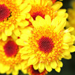 Yellow flower close up — Foto Stock