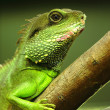 Green iguana on tree branch - Foto Stock