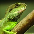 Green iguana on tree branch - Foto de Stock