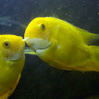 The fish kiss — Stock Photo