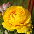 Ranunculus - Stock Photo