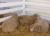 Three sheep sleep at fair — Stock Photo