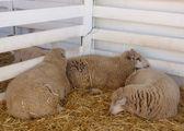 Three sheep sleep at fair — Stock Photo