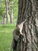 Squirral Hangs on the side of a Tree — Stock Photo