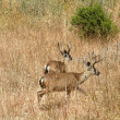 Royalty-Free Stock Photo: Two Black-tailed Deer run through Dry Grassy Field