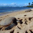 Stock Photo: Three Large Green SeTurtle sunbath