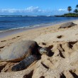 Three Large Green Sea Turtle sunbath — Stock Photo #4827123