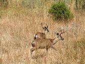 Cervo dalla coda nera due eseguire attraverso il campo erboso asciutto — Foto Stock