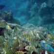 ������, ������: Parrot Fish sneaking along with a school of Yellow Tang Fish