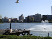 Birds flying and hanging out at Lake Merritt — Stock Photo