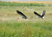 Stork — Stock fotografie
