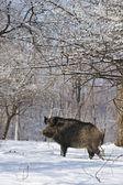Wild boar — Stock Photo