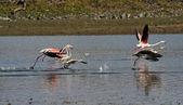 Flamingo in flight — Stock Photo