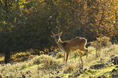 Fallow deer — Stock Photo