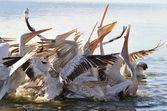 Pelicans fighting over food — Stock Photo