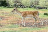Female fallow deer — Stock Photo