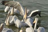 Pelicanos — Fotografia Stock