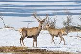 Deer with big horns — Stock Photo
