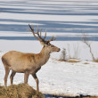 Stock Photo: Deer in winter