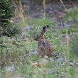 Wild rabbit — Stock Photo