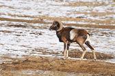 Mouflon — Stock Photo