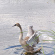 Swan in water — Stock Photo #5358483