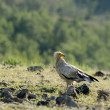 Royalty-Free Stock Photo: Egyptian Vulture