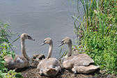 Swans to the lake — Stock Photo