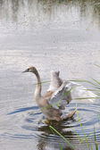 Swan in water — Stock Photo