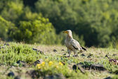 Egyptian Vulture — Stock Photo