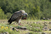 Vulture — Stock Photo