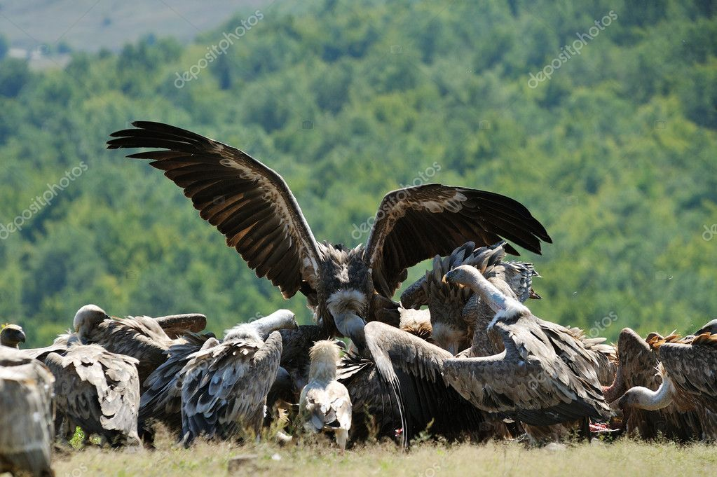 Vultures fight for food — Stock Photo #5358604