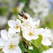 Pear blossom with bee — Stock Photo