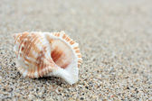 Conch Shell — Stockfoto