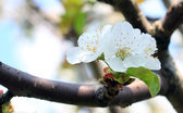 Blackthorn blossom — Stock Photo