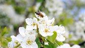 Flor de pêra com abelha — Fotografia Stock