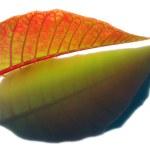 Leaf Vein — Stock Photo #4921712