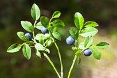 Mirtillo - vaccinium myrtillus — Foto Stock