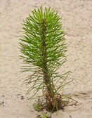 Pine seedling — Stock Photo