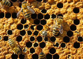 Exit bees from the pupa. — Stock Photo