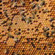 Life and reproduction of bees — 图库照片