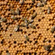 Life and reproduction of bees — Foto de Stock