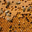 Life and reproduction of bees — Stockfoto