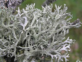 Lichen Evernia Plum (Evernia prunastri) — Stock Photo