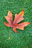 Autumn Leaf on Grass — Stock Photo