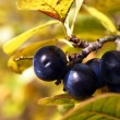 Blackthorn — Stock Photo