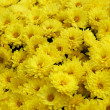 Yellow flowers - Chrysanthemum — Stock Photo