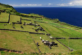 Pasture on cliff with cows — Stock Photo